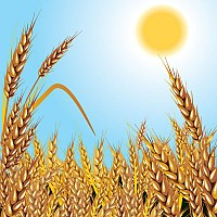 Wheat Harvest Vector Illustration